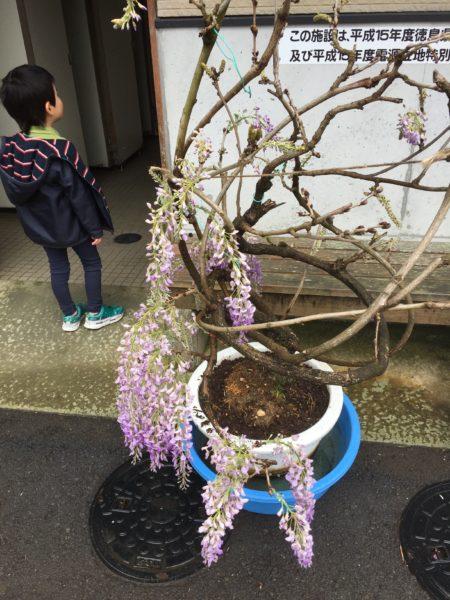 藤井寺の藤